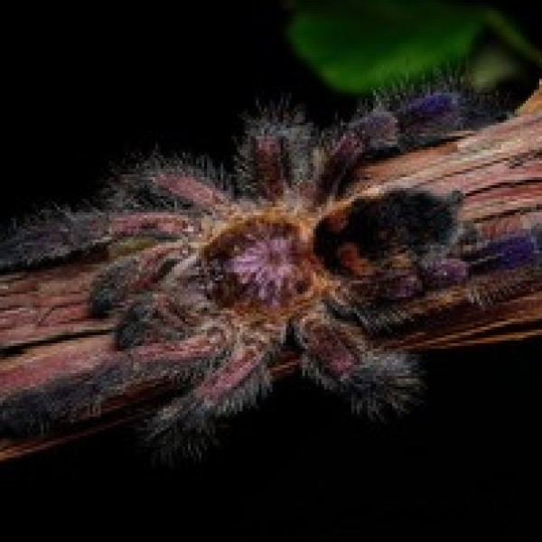 Avicularia sp. kolumbia