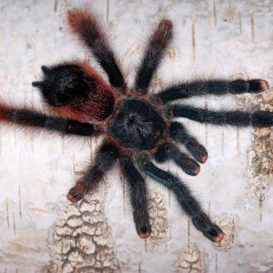 Avicularia braunshauseni