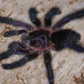 Avicularia sp equador
