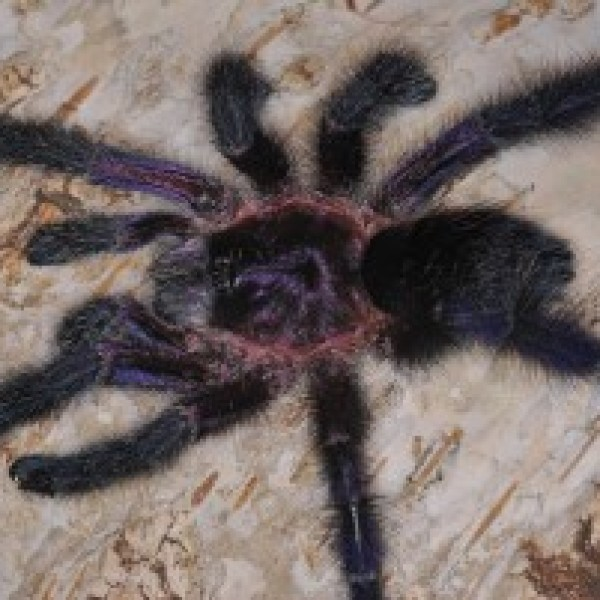 Avicularia sp. equador