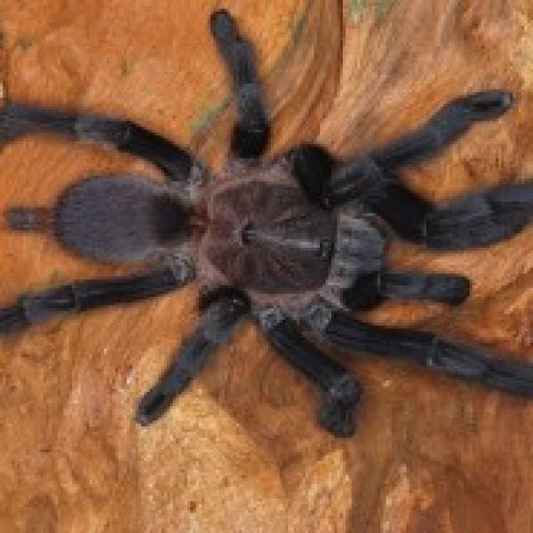 Chilobrachys sp. prahuap khiri khan