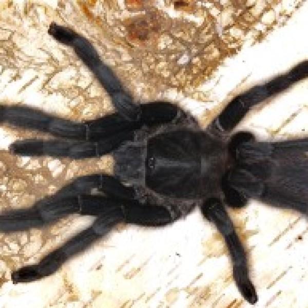 Chilobrachys sp. kaeng krachan