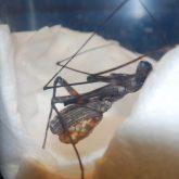 Inne pajęczaki