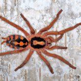 Hapalopus sp columbia (2)