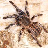 Haplopelma albostriatum (2)