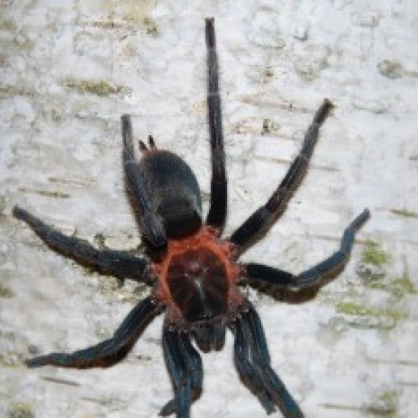 Holothele sp. aragua