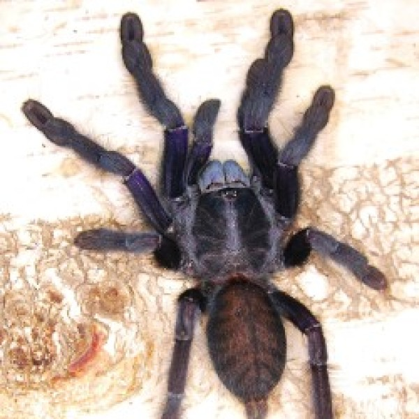 Lampropelma sp. borneo black