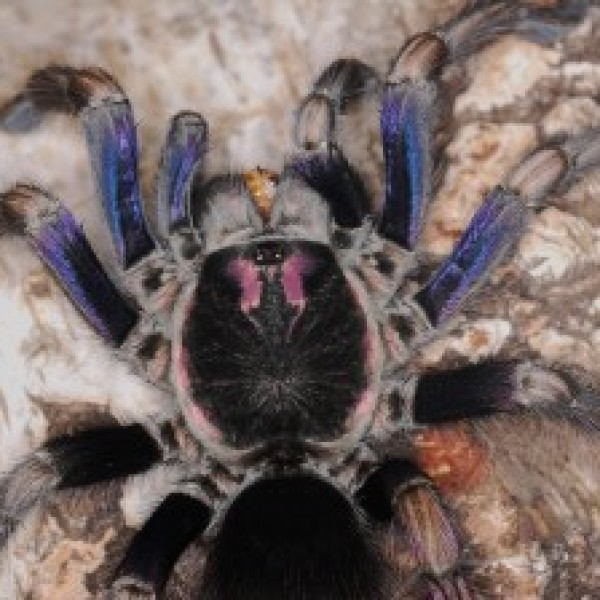 Pamphobeteus ultramarinus male