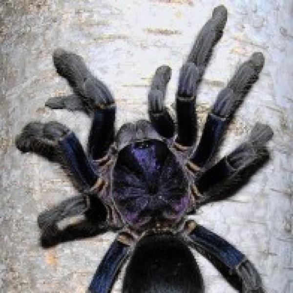Phormictopus cautus