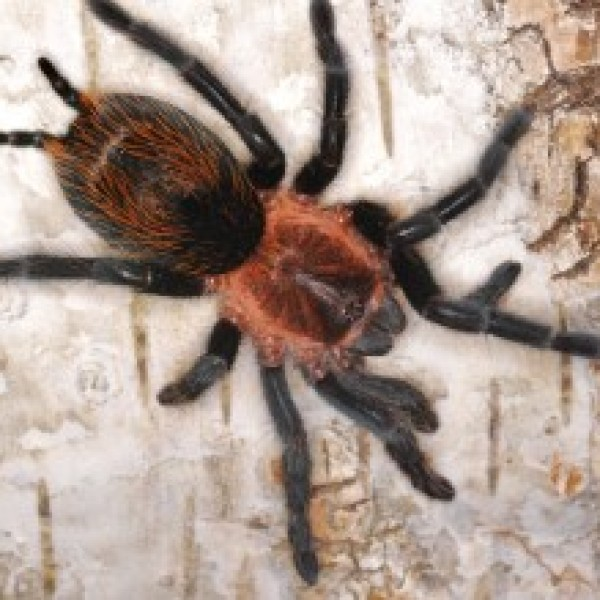 Plesiopelma sp. Bolivia