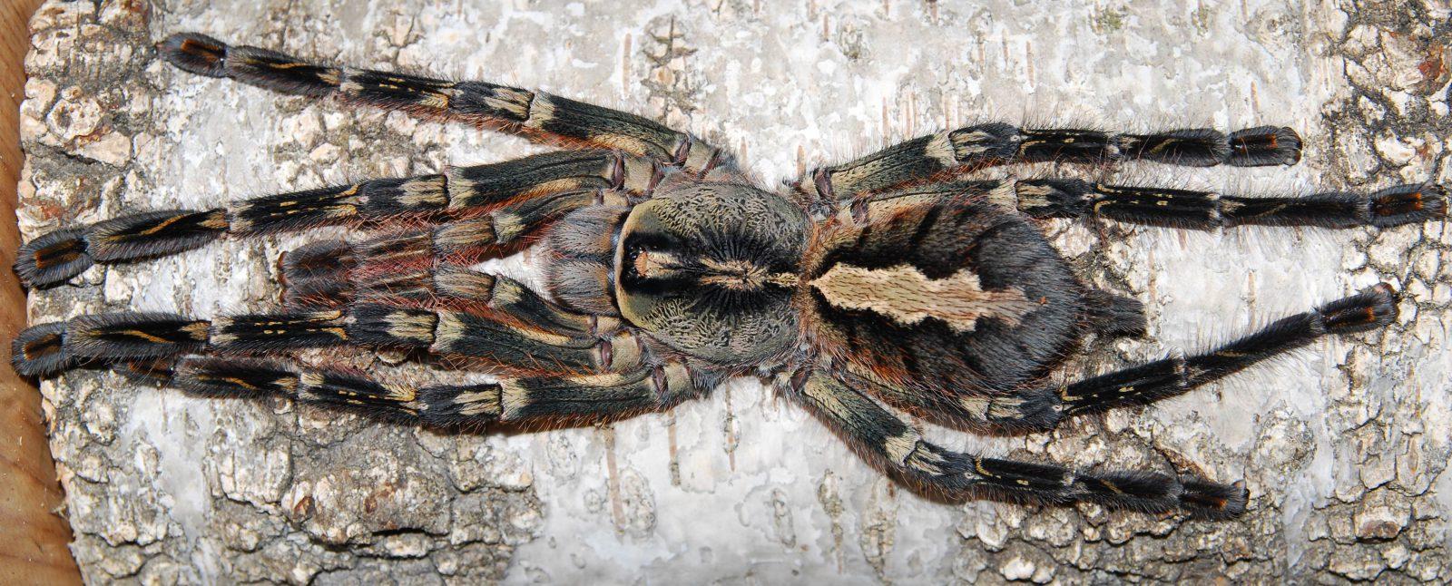 poecilotheria ornata l34 spider shop
