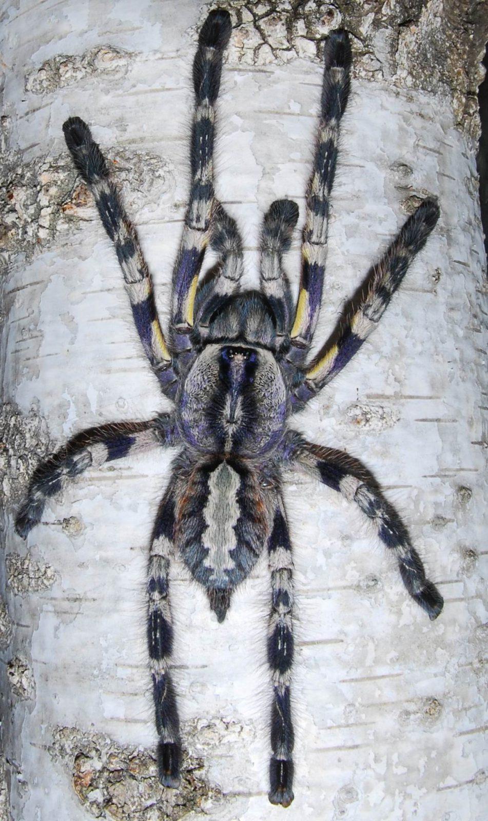poecilotheria regalis l23 spider shop