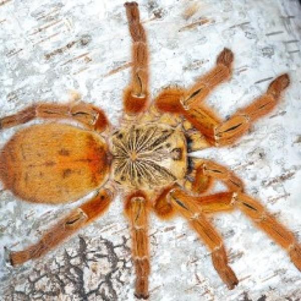 """Pterinochilus murinus """"usambara"""""""