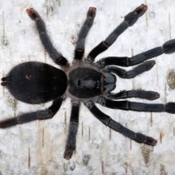 Tapinauchenius subcaeurelus
