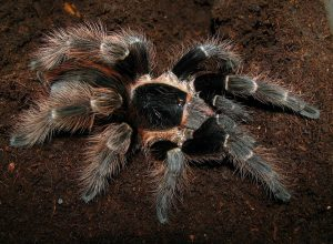 acanthoscurria_natalensis_3