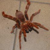 Pelinobius muticus adult