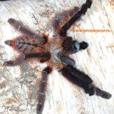 Phormingochillus everetti 1