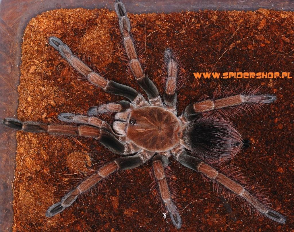 Pamphobeteus sp mascara - Kopia