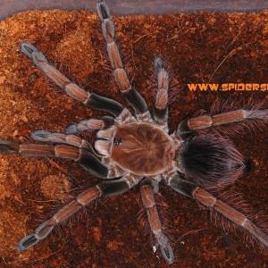 Pamphobeteus sp mascara – Kopia