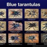 blue_tarantulas_v2_kicsi