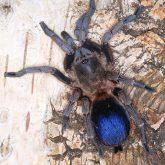 Pseudhapalopus sp blue