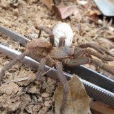 Theraphosidae sp casanare
