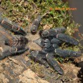 Phormingochilus pennellhewletti
